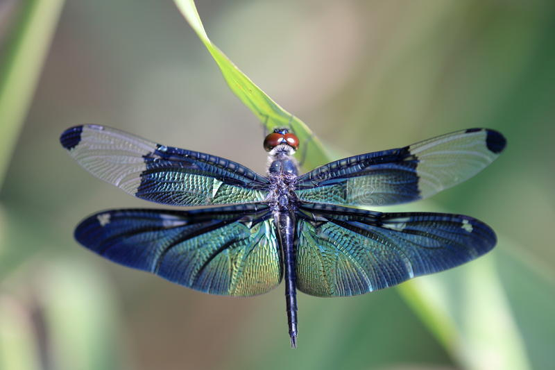 Dragonfly Z Pięknym Skrzydłem Fotografia Royalty Free