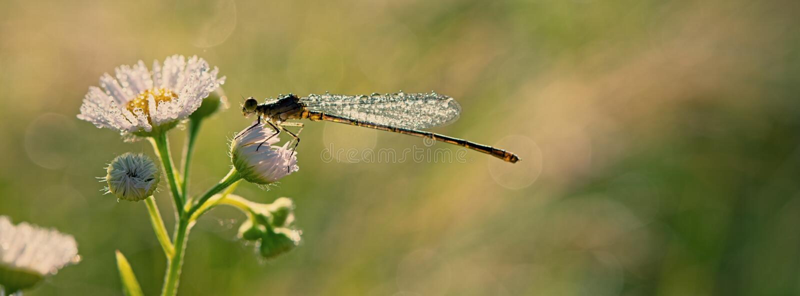 Dragonfly zakrywający z kroplami ranek rosa siedzi na łąkowym kwiacie fotografia stock