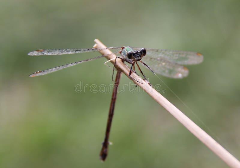 Dragonfly zamknięty z mokrymi skrzydłami up obrazy royalty free
