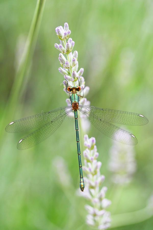 Dragonfly zbliżenia piękni skrzydła na lawendzie zdjęcie stock