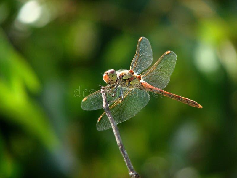 Dragonfly - zręczny myśliwy, zapalony obserwator fotografia stock