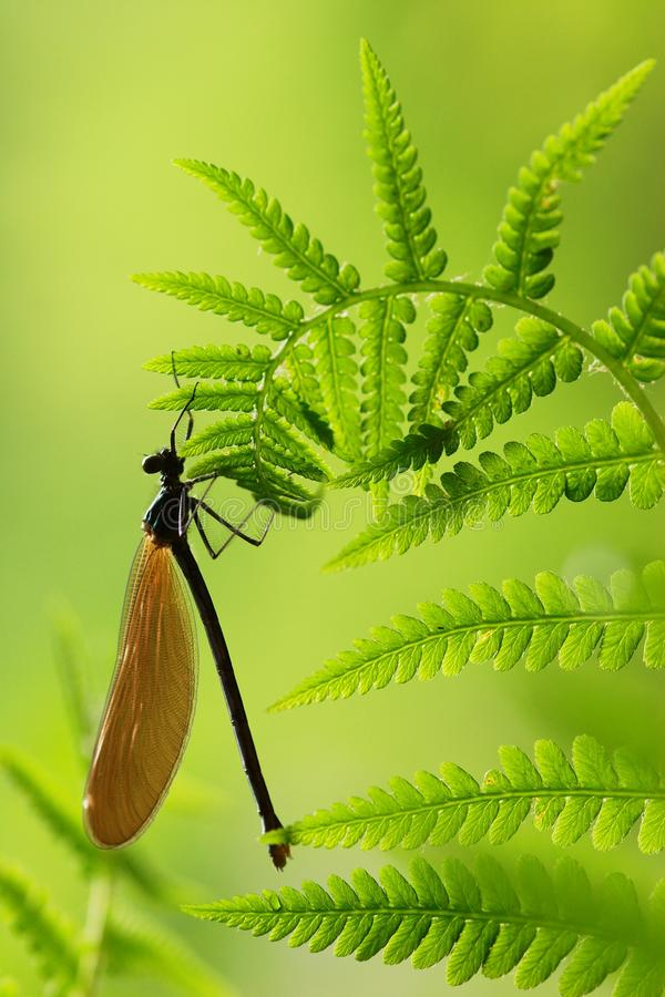 Dragonflyon een varen stock foto
