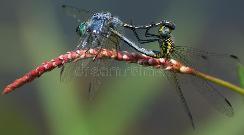 2 Dragonflys mating stock photo