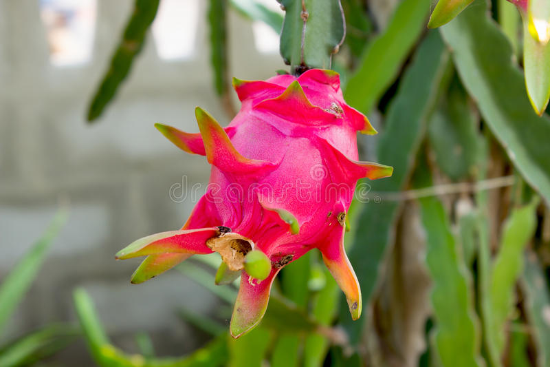 Dragonfruit,在绿色树的果子桃红色 库存图片