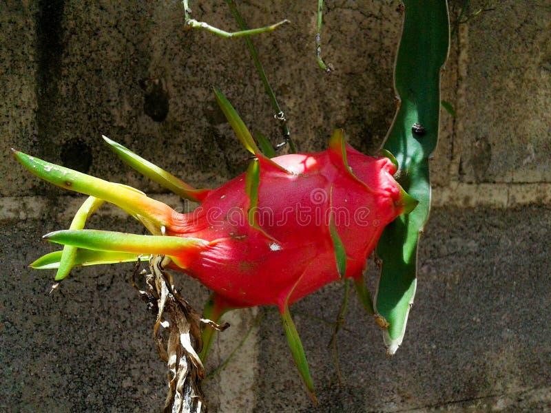 Dragonfruit fotografia de stock royalty free