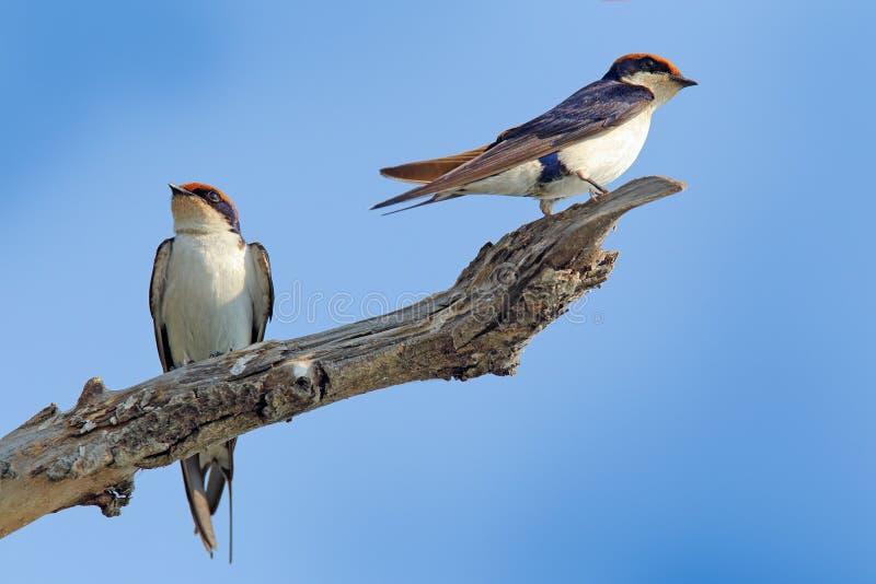 Draht-angebundene Schwalbe, Hirundo smithii, Vogel zwei, der auf dem Baumast sitzt Naturlebensraum, blauer Himmel Vögel von Botsw lizenzfreie stockfotos