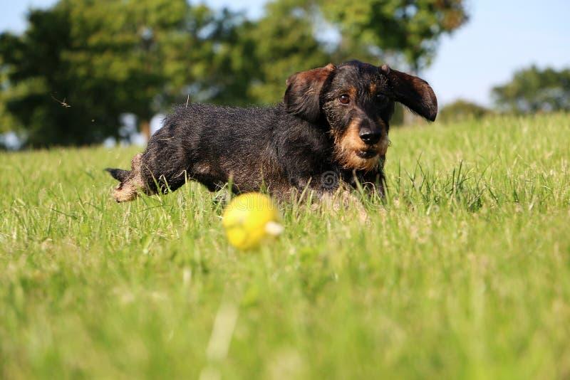 Draht behaartes dachshound im Garten lizenzfreies stockfoto