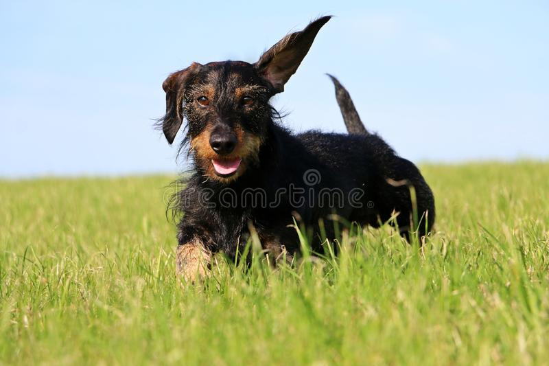 Draht behaartes dachshound im Garten lizenzfreie stockfotografie