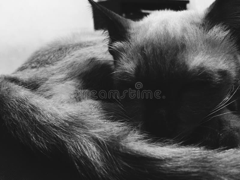 DRAK CAT royalty free stock photo