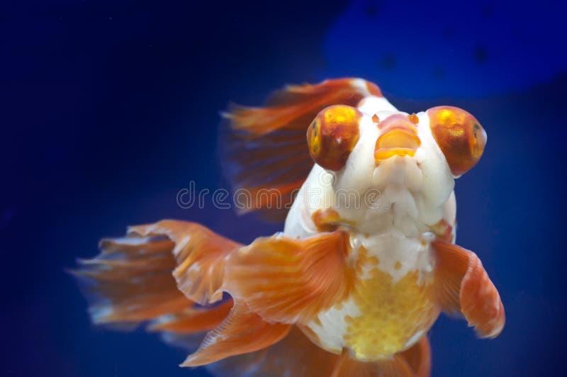 Drakeögonguldfisk i fiskbehållare royaltyfri bild