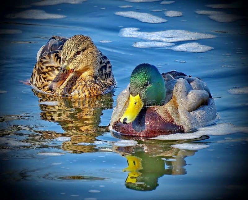 Drake и утка на озере Кряква - птица от семьи отрыва уток водоплавающей птицы стоковое фото