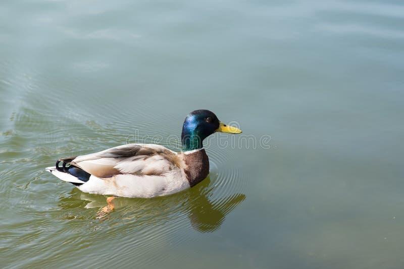 Download Drake, милая птица на предпосылке живой природы Стоковое Фото - изображение насчитывающей пруд, перо: 40578410