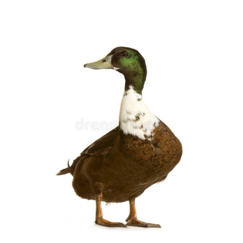 Download Drake stock image. Image of animal, yard, studio, drake - 2307687
