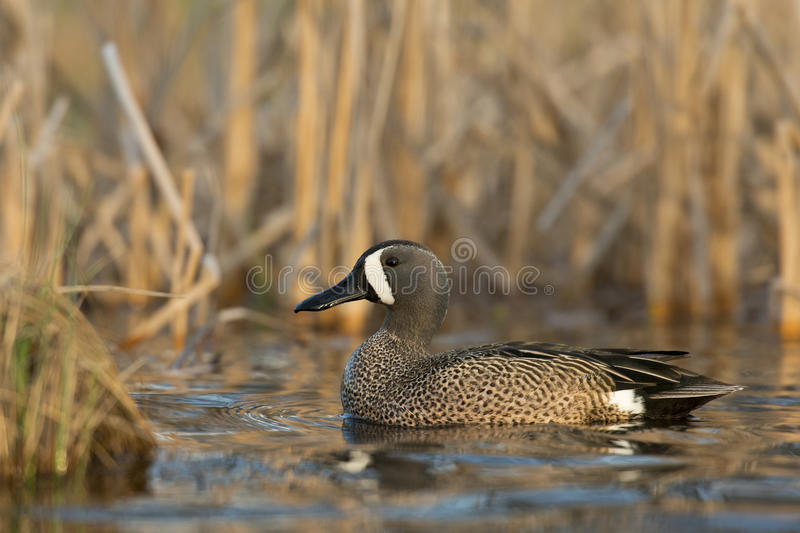 Drake Blue Winged Teal. A drake Blue Winged Teal in the spring royalty free stock image