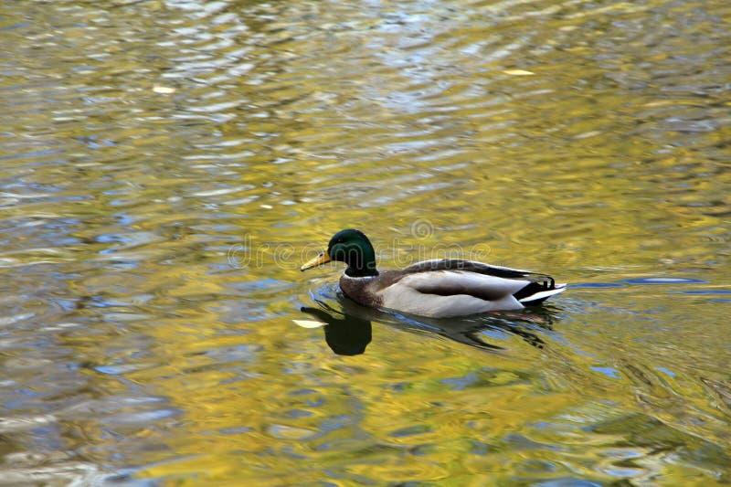 Drake che galleggia in acqua dorata fotografie stock libere da diritti