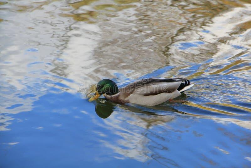 Drake, das auf die Grenze des mehrfarbigen Wassers schwimmt lizenzfreies stockbild