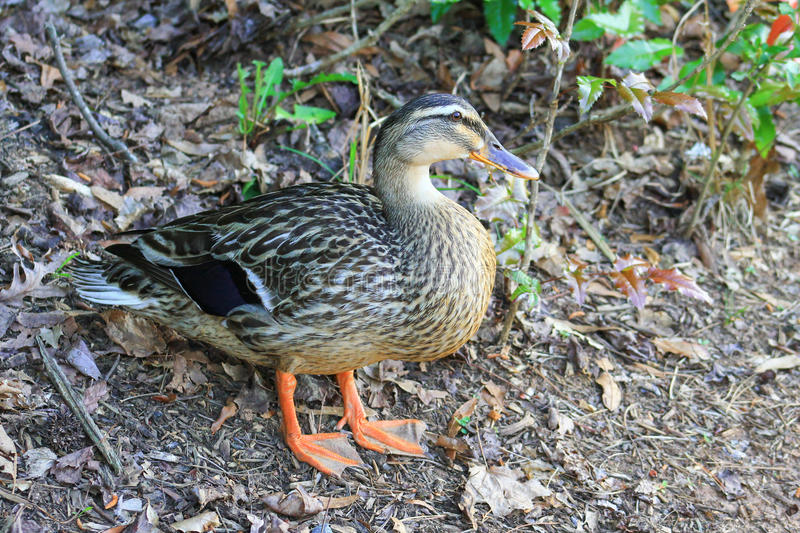 Drake Decoy (duck). Large duck standing by the edge of woods looks like a decoy royalty free stock images