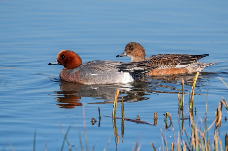 Northern Pintails - Anas acuta on a winters day resting on water. royalty free stock photo