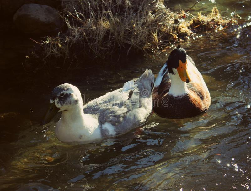 A pair of wild ducks in the lake royalty free stock image