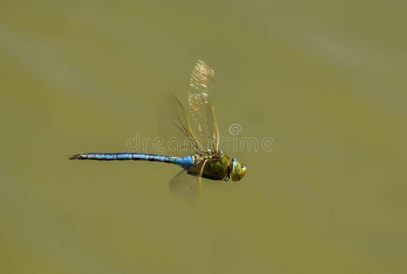 Drake-fluga arkivfoto