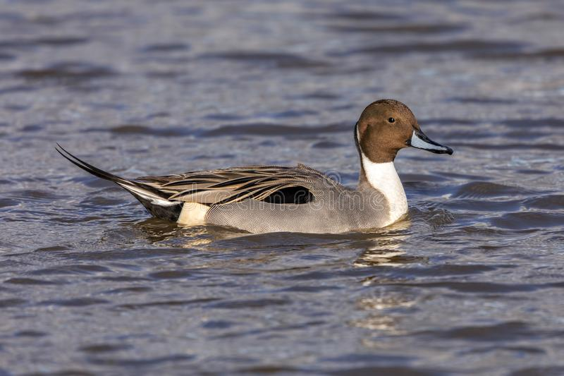 Drake Northern Pintail - Anas acuta resting on water. Drake or male Northern Pintail Duck - Aythya acuta with excellent feather detail resting on water on a royalty free stock photos