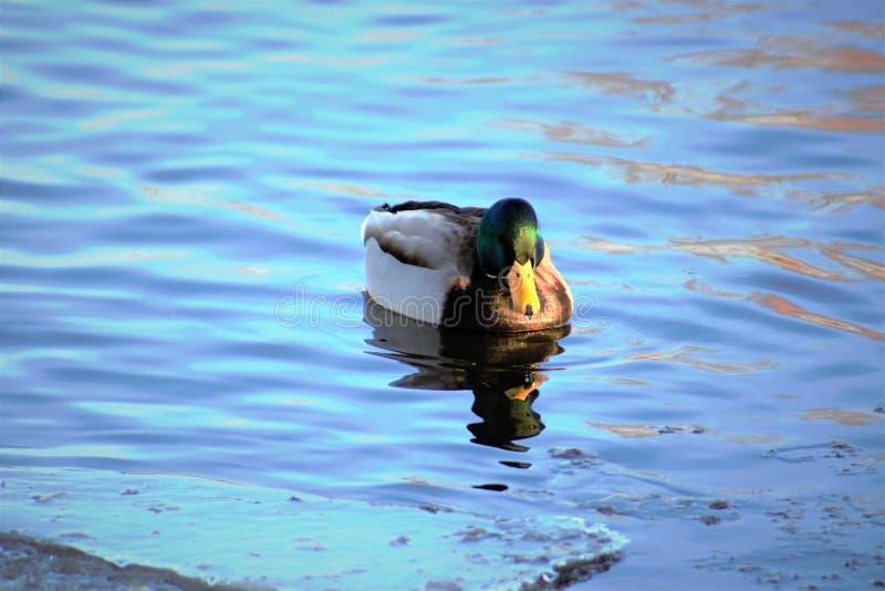 Drake Mallard auf einem eisigen Teich lizenzfreies stockbild
