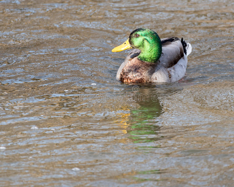 Drake Mallard Duck lizenzfreies stockfoto