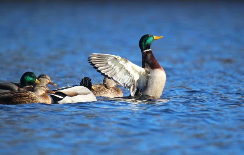 Drake Mallard Duck Standing Out de la muchedumbre imagen de archivo libre de regalías
