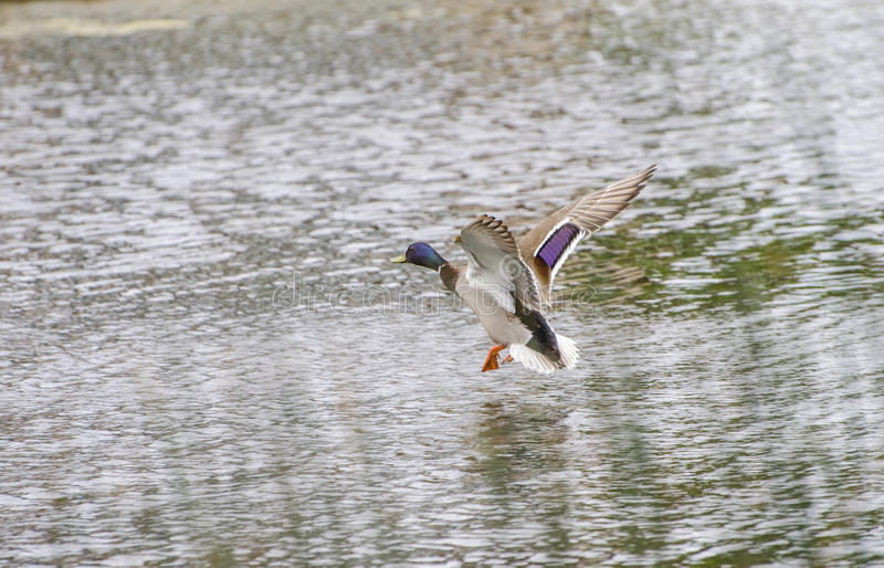 Drake Mallard Landing-Flug stockfotografie