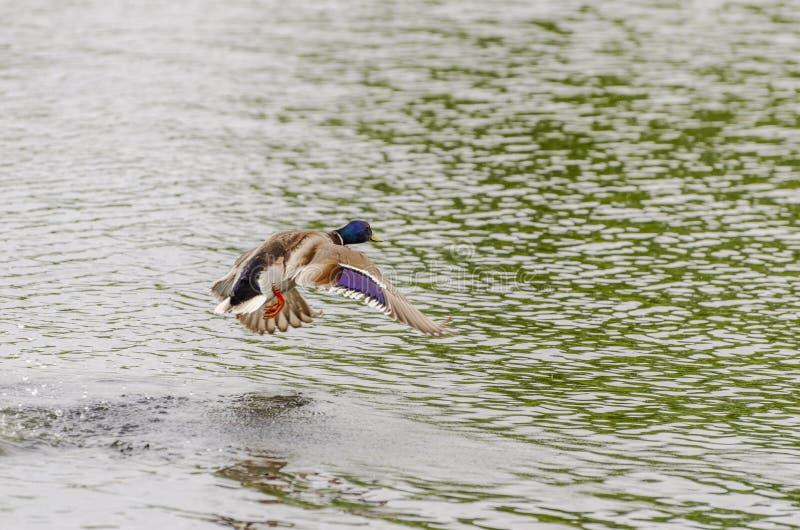 Drake Mallard Landing-Flug stockbild
