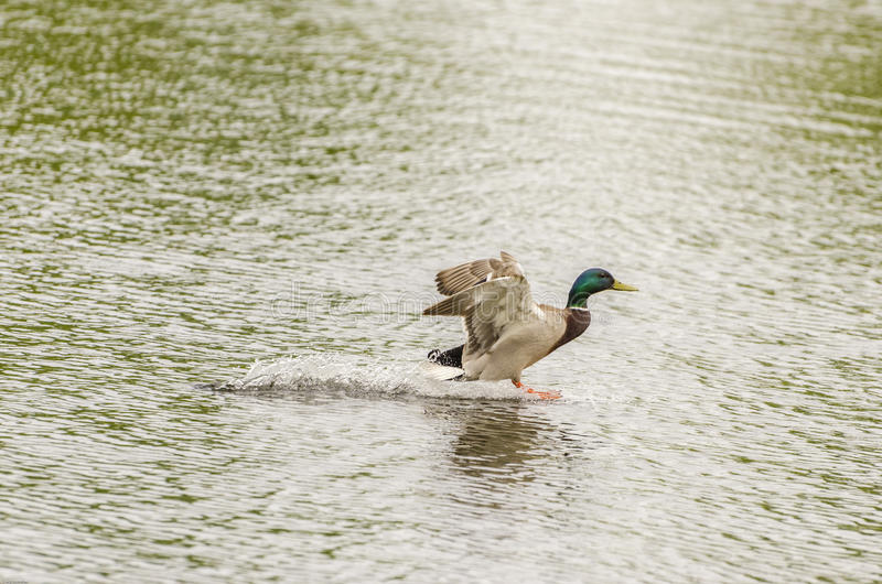 Drake Mallard Landing-Flug stockfotos