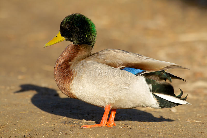 Download Drake Mallard on shore stock photo. Image of lake, duck - 36988374