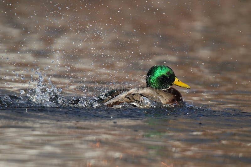 Drake Mallard Splashing in Gold Water in Winter obrazy royalty free