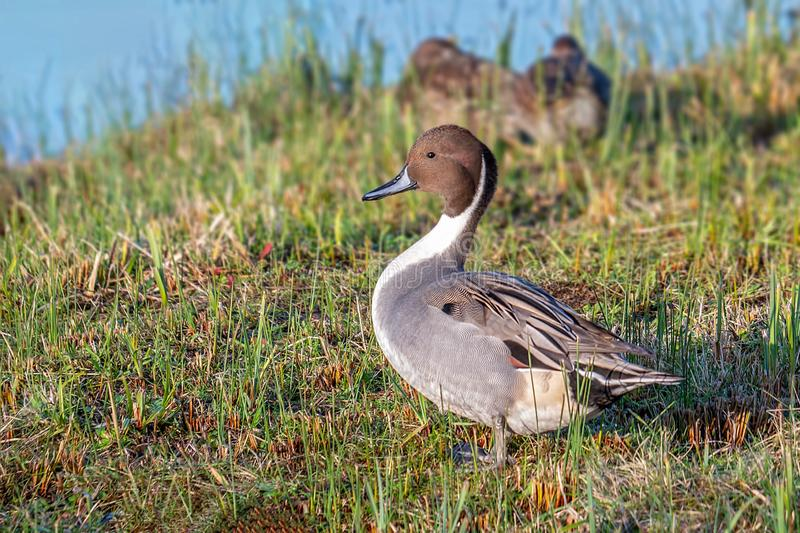 Northern Pintail Drake - Anas acuta standing on a Gloucestershire wetland. Drake Northern Pintail - Aythya acuta with its neck stretched standing on the bank of royalty free stock photo