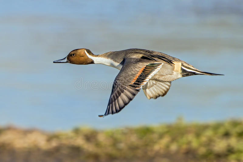 Northern Pintail Drake - Anas acuta, in Flight. royalty free stock photography