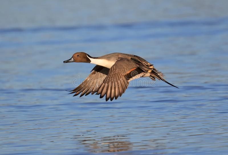 Pintail royalty free stock photo