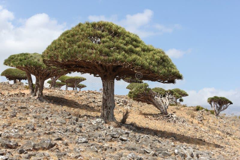 Drake-träd royaltyfria foton