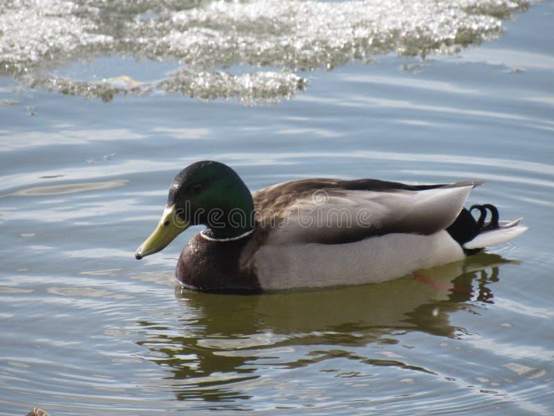 Drake w zimnej wodzie zdjęcia stock