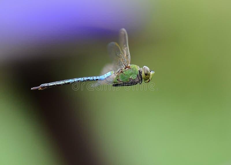 Drakefluga 1 royaltyfria foton