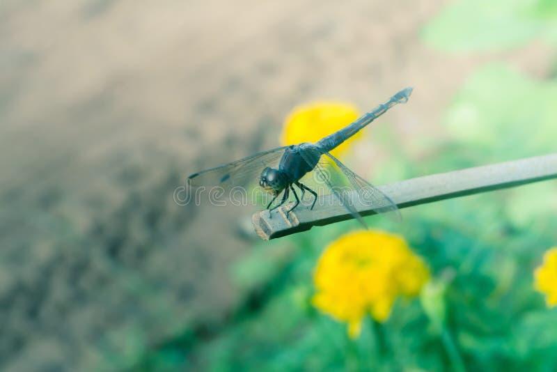 Drakefluga i stag på bambuträ royaltyfri foto