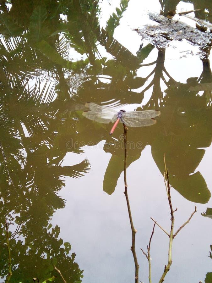Drakeflugait& x27; s äter de lilla insecetsna som myggor fotografering för bildbyråer