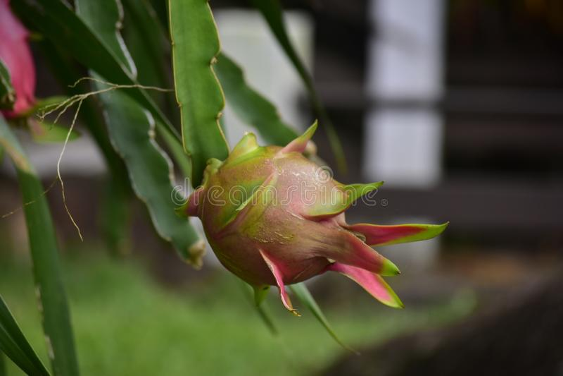 Drakefrukt är en frukt, som är mycket populär att äta som planteras i trädgården, royaltyfri fotografi