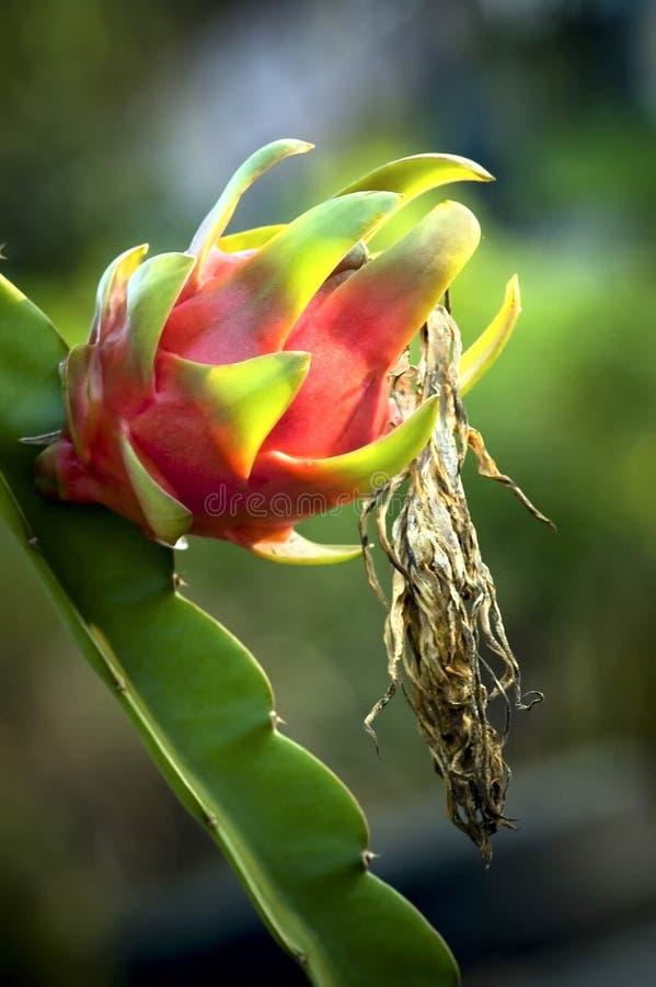 drakefrukt fotografering för bildbyråer