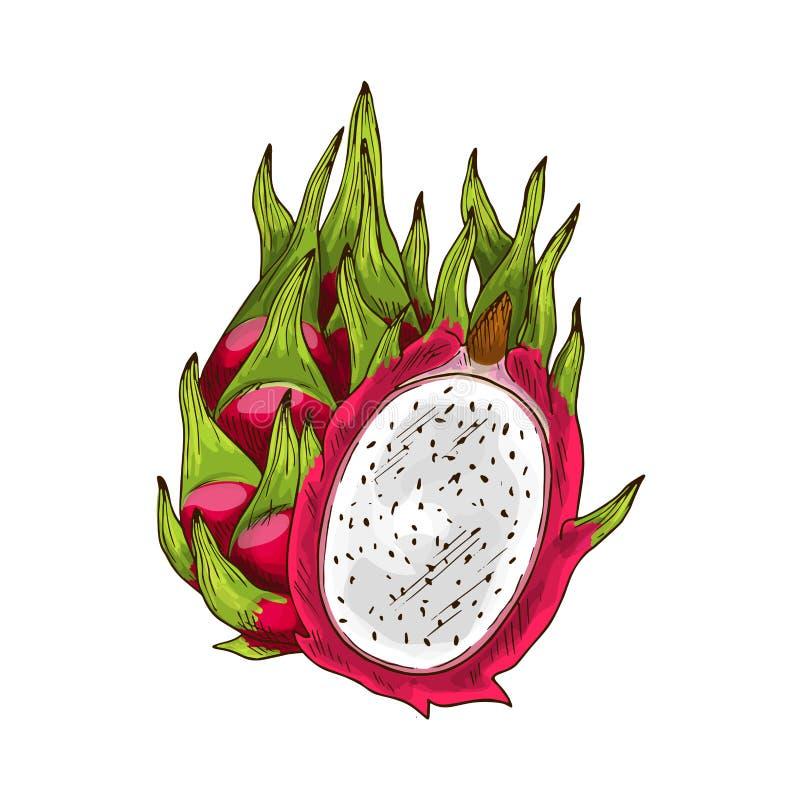 Drakefrukt skissar med rosa pitaya stock illustrationer