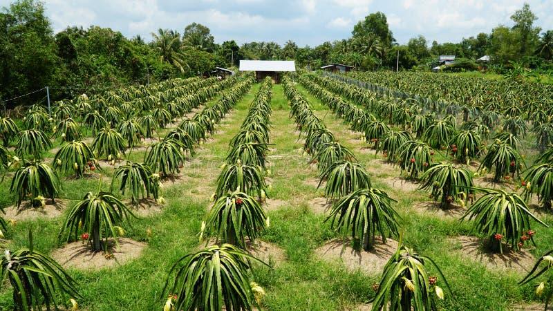 Drakefruktträdgårdar är blomman och frukt fotografering för bildbyråer