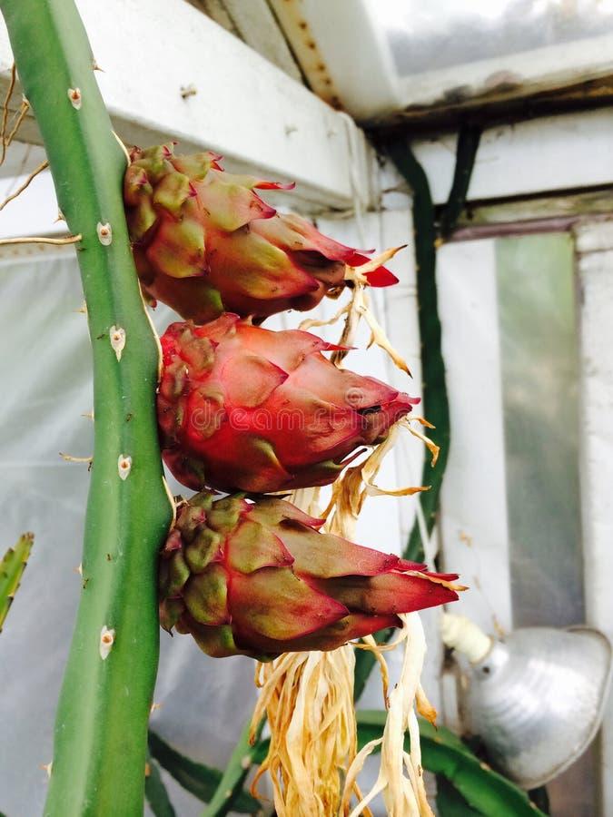 Drakefrukttrippel royaltyfri foto