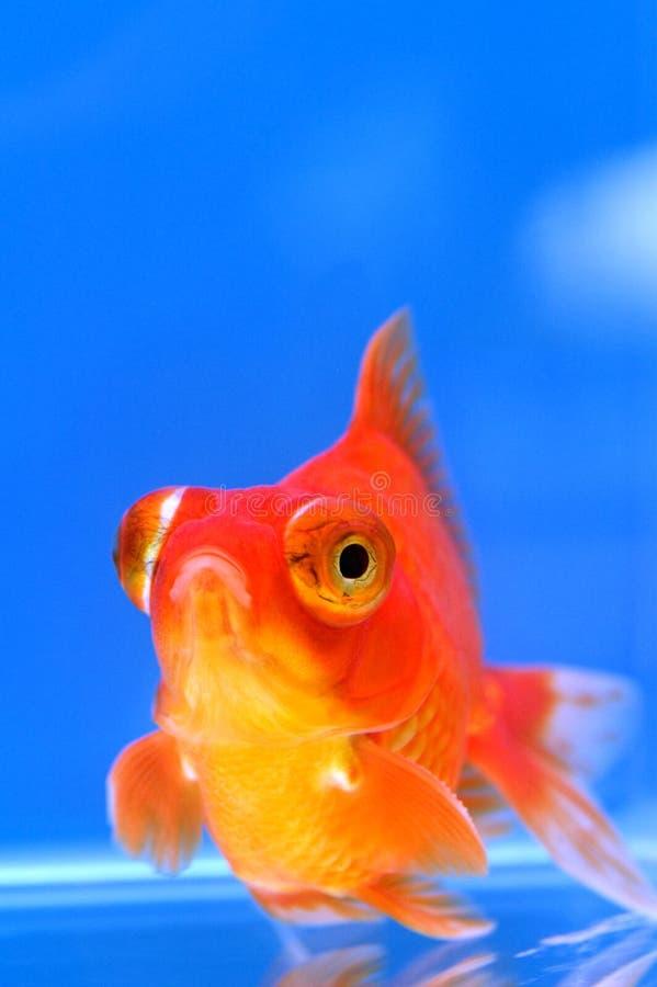 Draken synar guldfisk royaltyfri bild