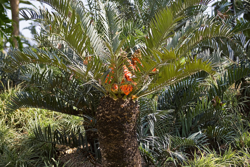 Drakensberg Cycad with Fruit. (Encephalartos ghellinckii) The Drakensberg Cycad's status is currently listed on CITES, as threatened Cycad are a group of seed stock images