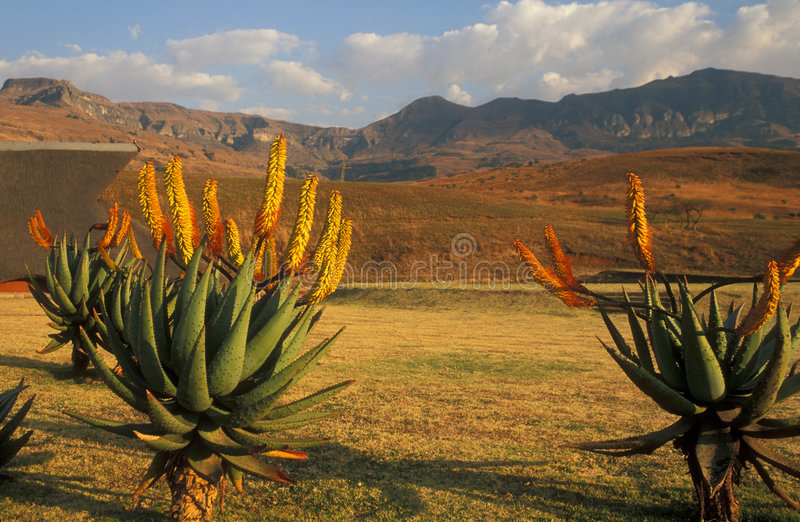 Drakensberg Mountains. Cactus plants with orange flowers against a backdrop of the Drakensberg Mountains in South Africa stock images