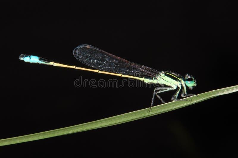 drakesmaragdfluga royaltyfria foton